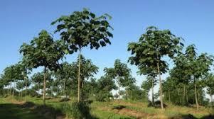 Фото - Вирощування дерева Павловнія для продажу в країни ЄС