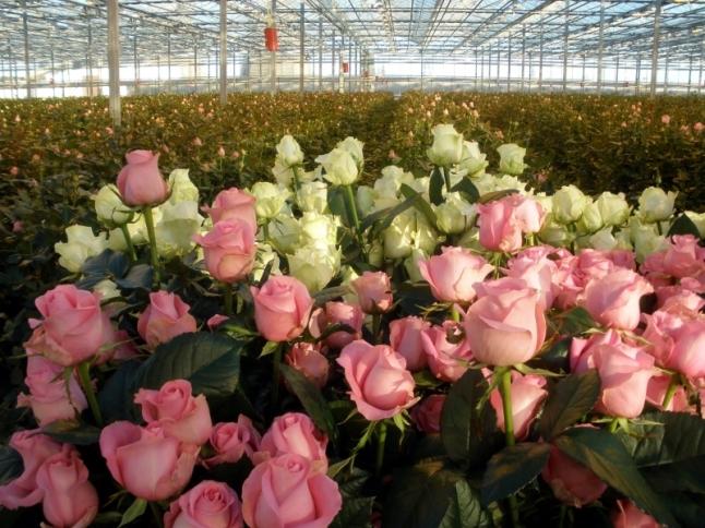 Фото - Выращивание роз, зелени, клубники