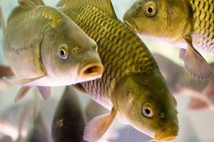 Фото - Продажа работающего бизнеса по выращиванию рыбы