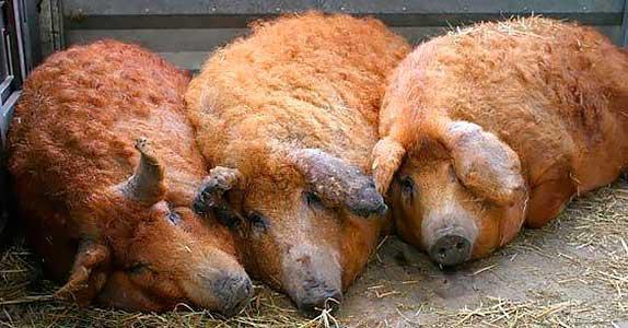 Фото - Разведение свиней породы Мангал