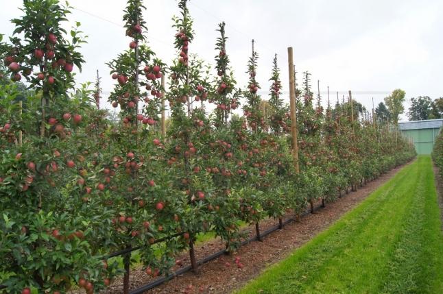 Фото - Вирощування яблук в інтенсивних садах