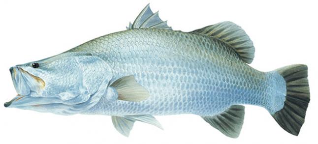 Выращивание баррамунди (белый морской окунь)