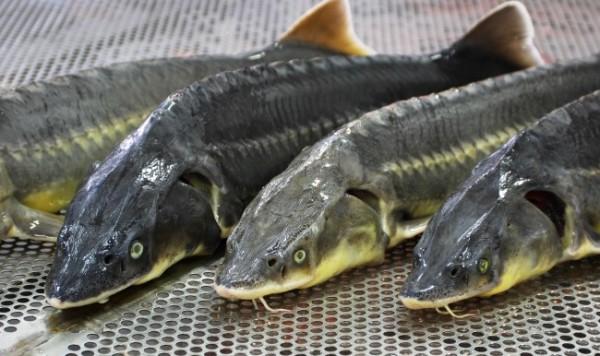 Фото - Ферма по выращиванию и разведению осетровых пород рыбы