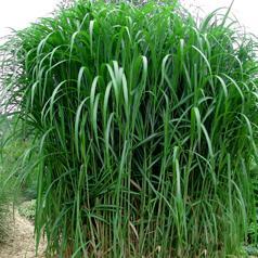 Фото - Выращивание энергетической травы Miscanthus Giganteus