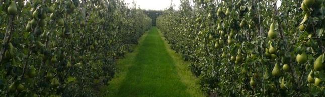 Фото - Интенсивный фруктовый сад