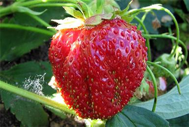 Фото - тепличное выращивание ягод и некоторых овощей