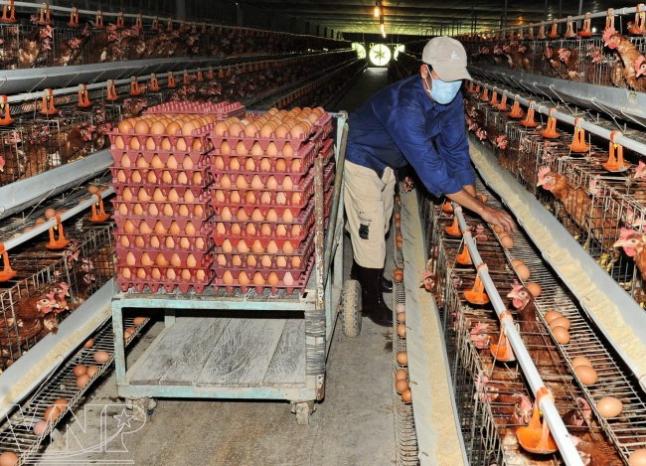 Фото - открытие фермы по производству куриных яиц