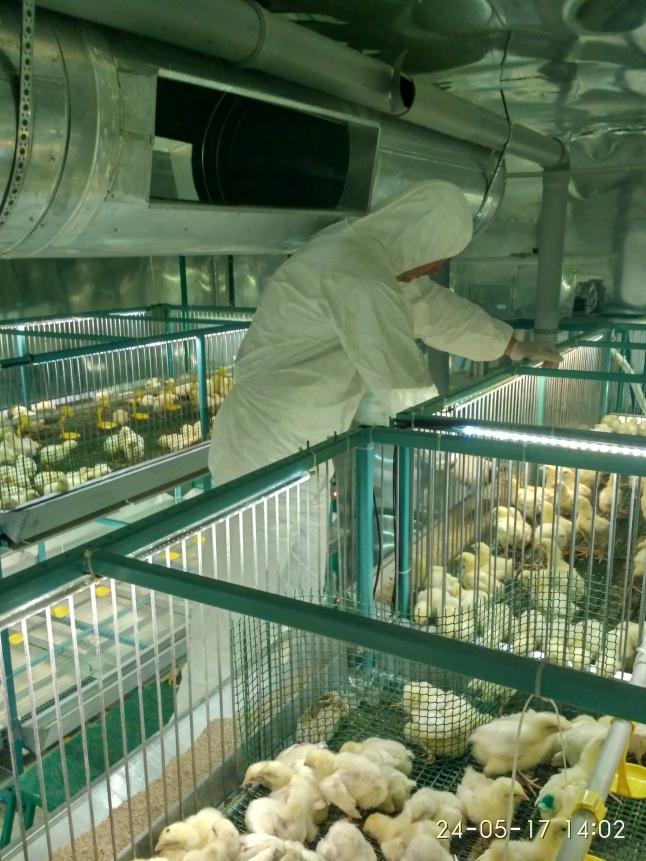 Фото - Эко-ферма «Домашней курочки» и тепличных овощей