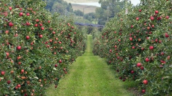 Фото - Интенсивный яблоневый сад