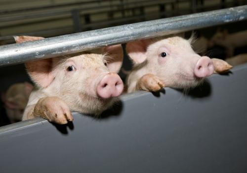 Фото - Содержание свиноматок
