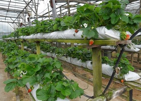 Фото - Круглогодичное производство органической ягоды