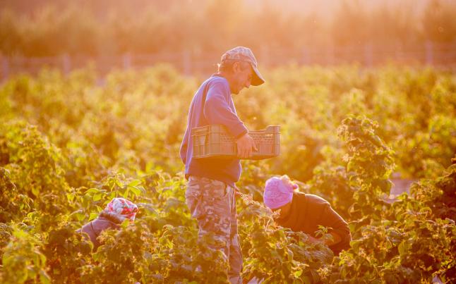 Фото - Выращивание и дальнейшая реализация ягодной продукции