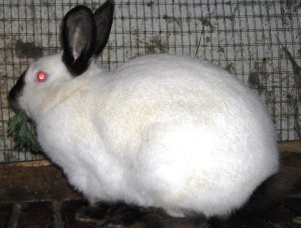 Фото - Вирощування кроликів на забій