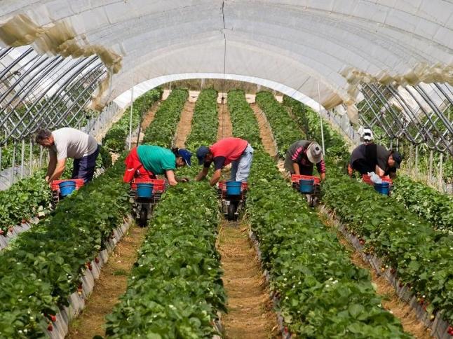 Фото - Тепличное выращивание клубники