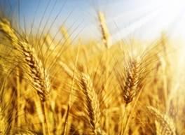 Фото - Оптовая торговля зерновыми и масличными культурами