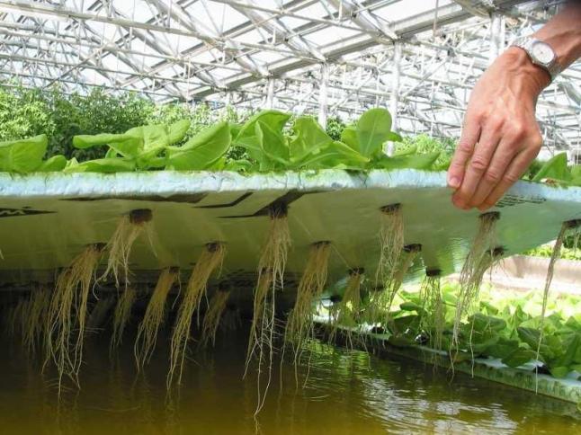 Фото - Выращивание овощей аквапоника