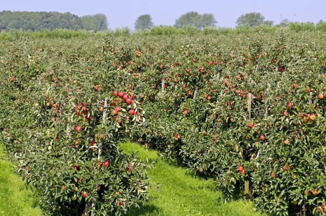 Фото - Яблочный рай