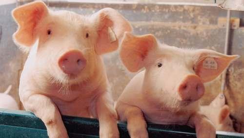 Фото - Розведення та реалізація свиней