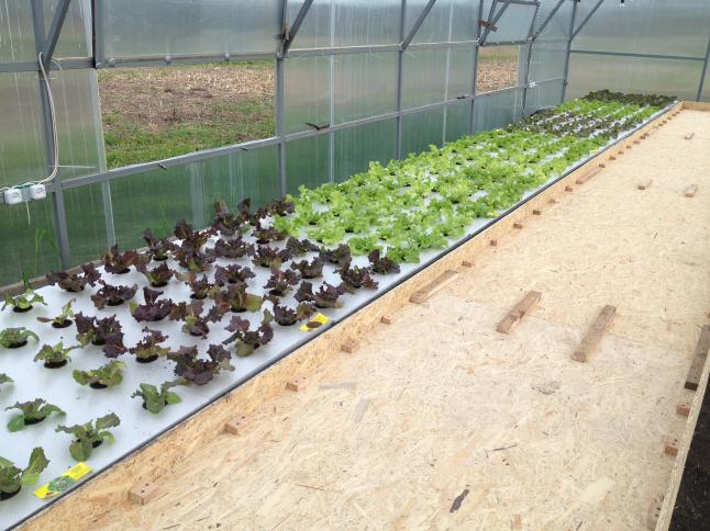 Фото - Вирощування зелені методом гідропоніки