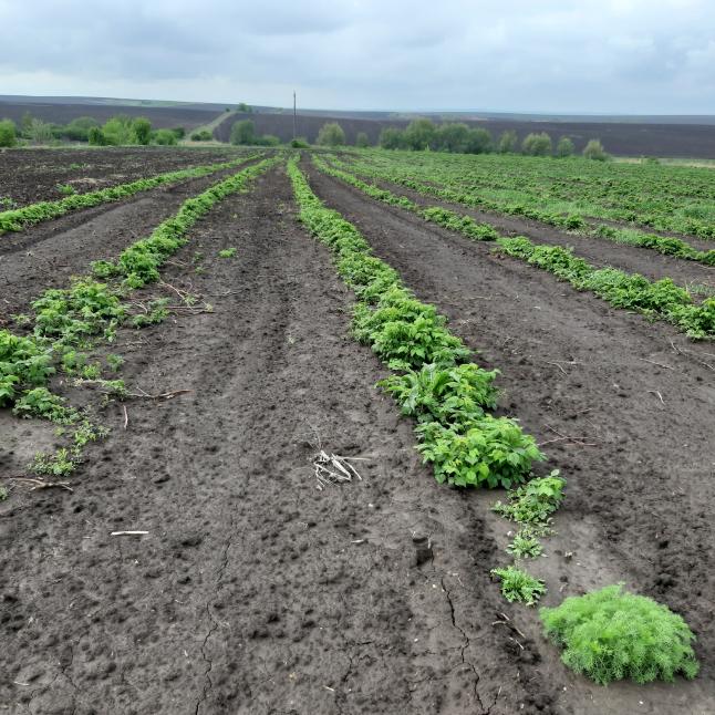 Фото - Вирощування ягід та овочів.