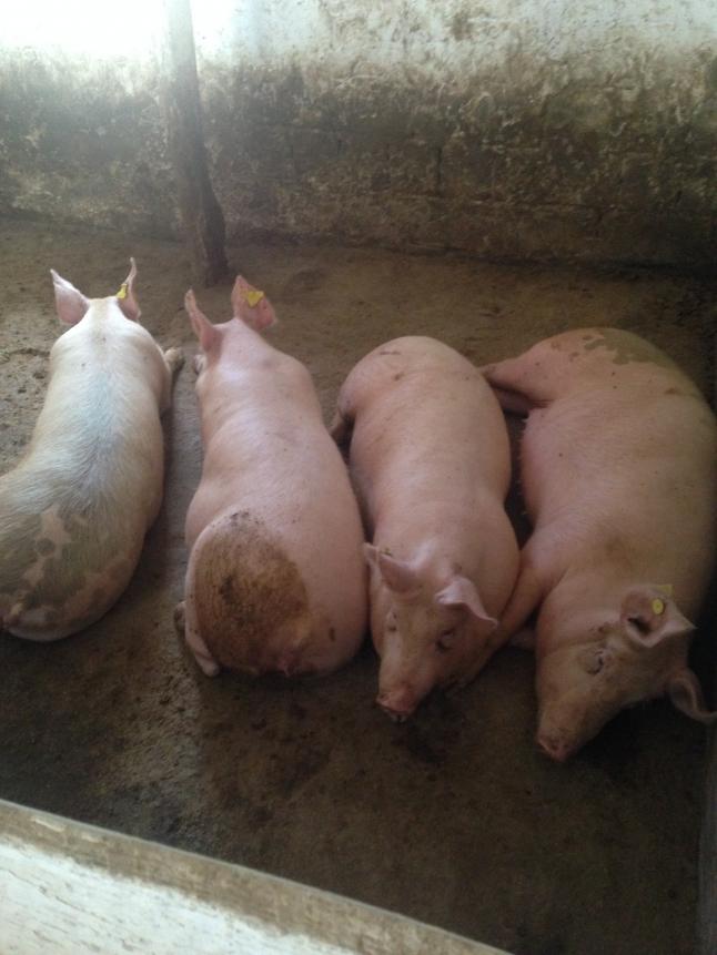 Фото - Разведение свиней с целью реализации поросят