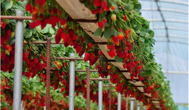 Фото - Выращивание клубники в теплице
