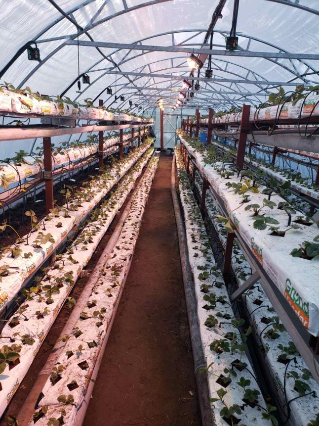 Фото - Всесезонне вирощування полуниці