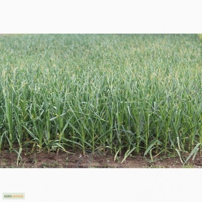 Фото - Выращивание чеснока